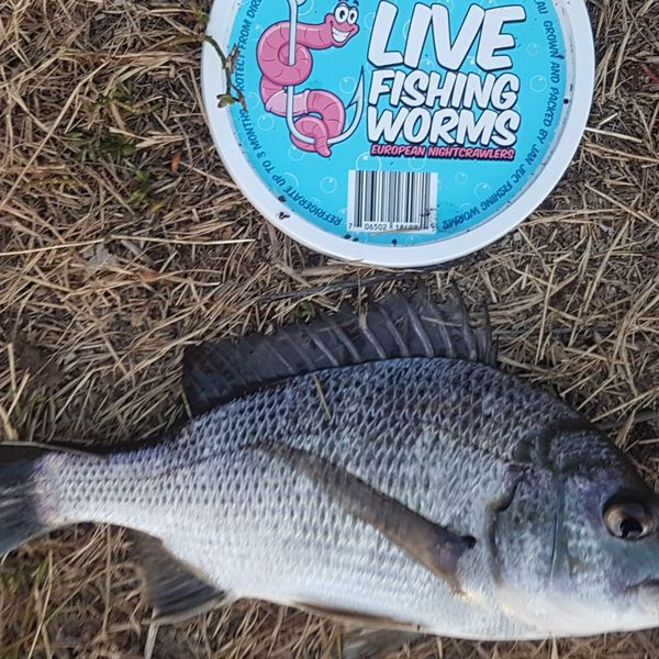 10 in Southern black bream caught by Jan Juc Fishing Worms