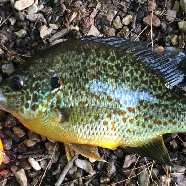 10 in Pumpkinseed caught by The String Puller