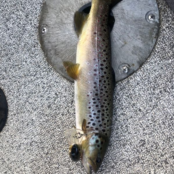 Brown trout caught by Rob Randall