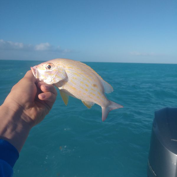 0.94 lbs / 12 in Lane snapper caught by James Murphy