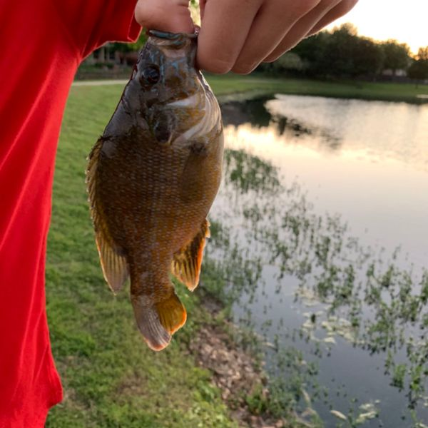 Green sunfish caught by Sedrek Zgadzaj