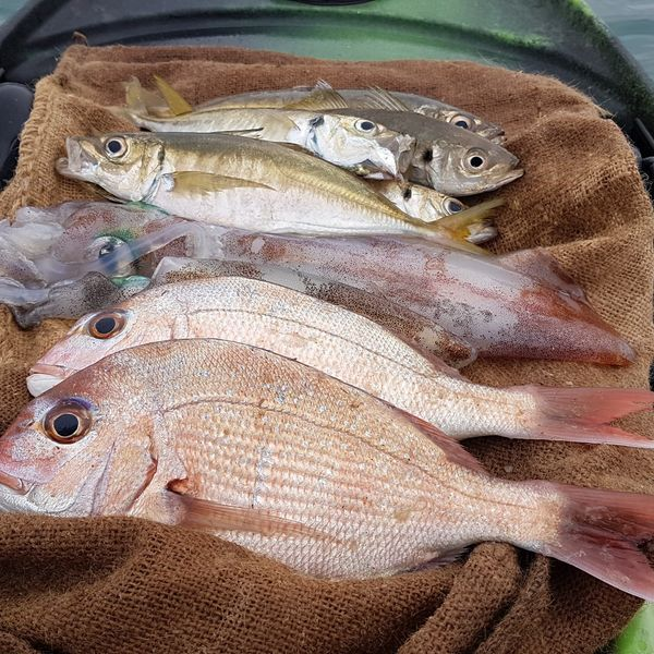 13 in Australasian snapper caught by Jan Juc Fishing Worms