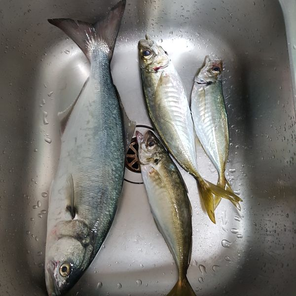17 in Bluefish caught by Sergey Belovolov