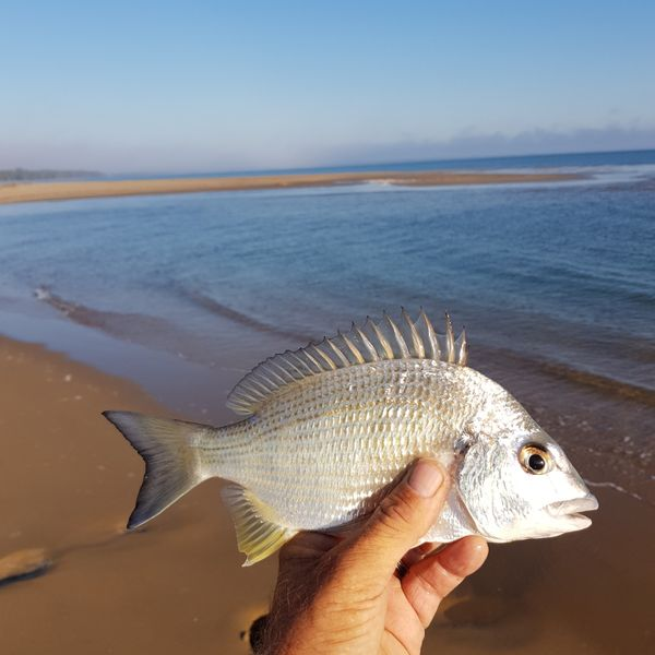 10 in Surf bream caught by Rob Dempsey