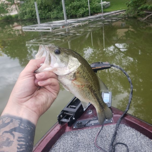 1.19 lbs Largemouth bass caught by andrew holloway