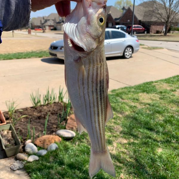 Striped bass caught by sean Reinking