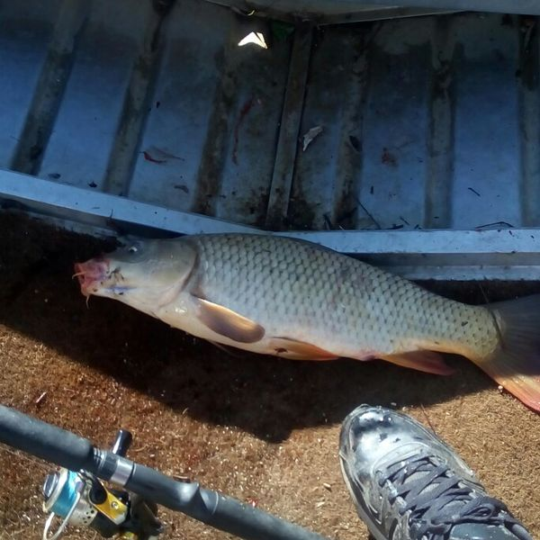 24 in Common carp caught by Warren Smeath
