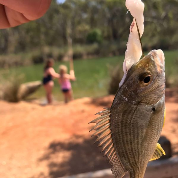 1 in Southern black bream caught by Rob White