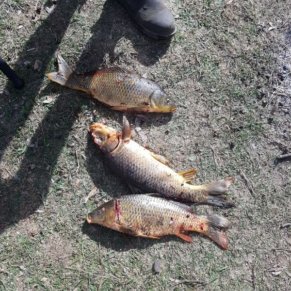 Common carp caught by Barefoot Hunting 'n' Fishing
