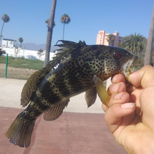 0.13 lbs / 11 in Spotted sand bass caught by Danny Ledezma