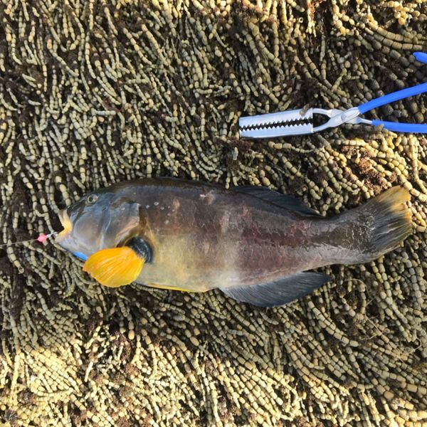 18 in Blue-throated wrasse caught by Carlos Babiano