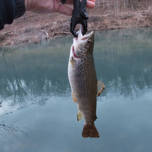 Brown trout caught by Chris Phelix