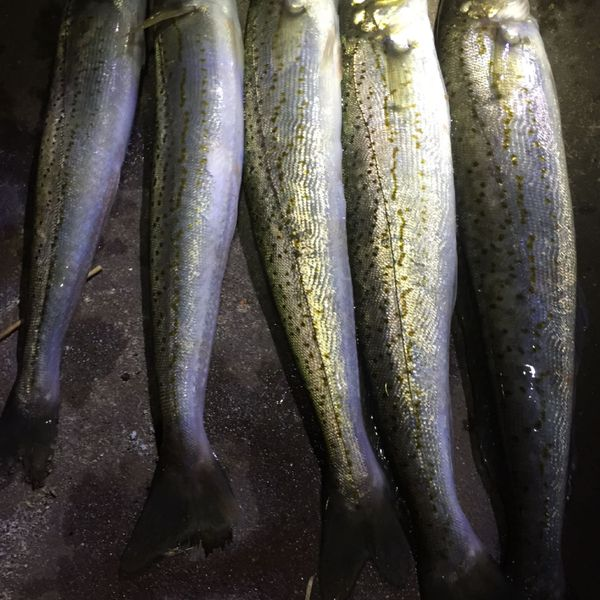 19 in Spotted sillago caught by Avni Oktomba