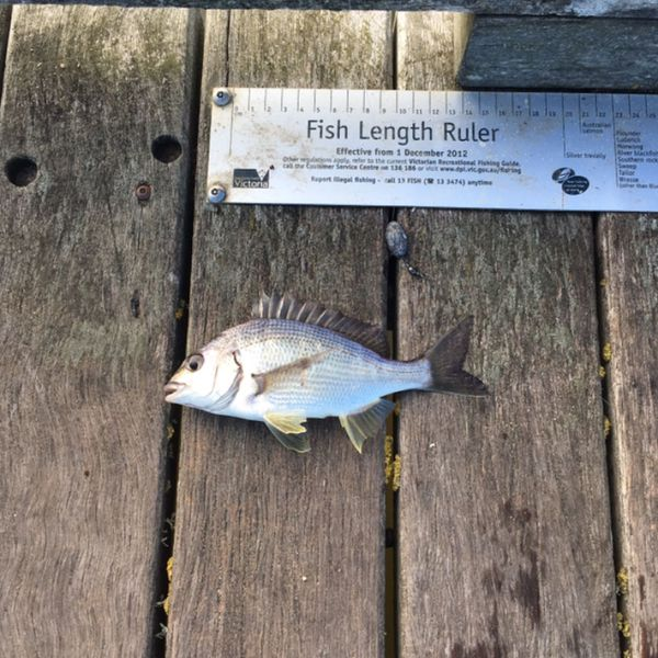10 in Surf bream caught by kyle aarons
