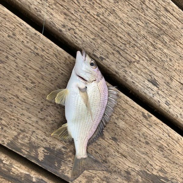 8 in Surf bream caught by Zack Jervies