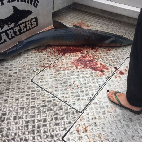 Shortfin mako shark caught by Brendan Thomas