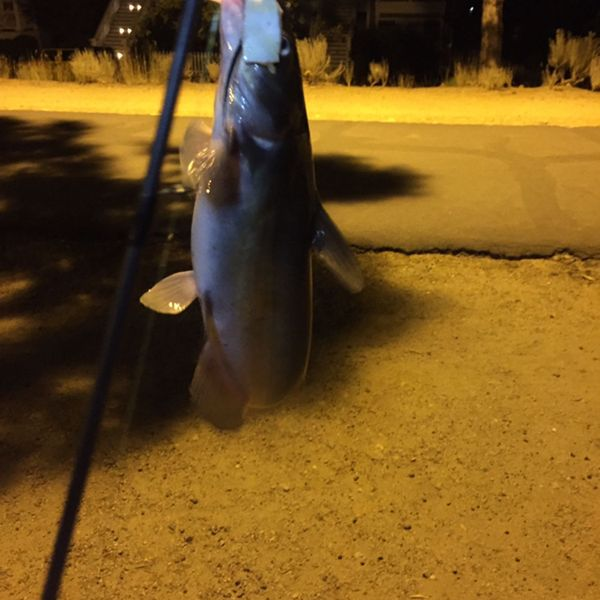 0.81 lbs / 12 in Channel catfish caught by Steven T