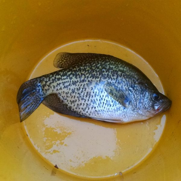 12 in Black crappie caught by Randy G