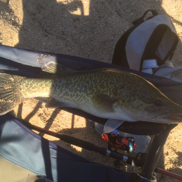 16 in Murray cod caught by Dennis m1