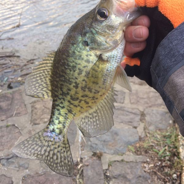 10 in White crappie caught by Chris R