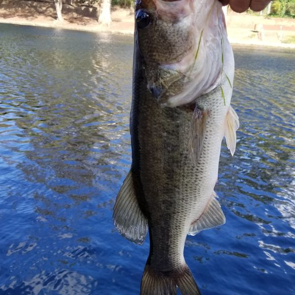 3 lbs Largemouth bass caught by Francisco Valadez
