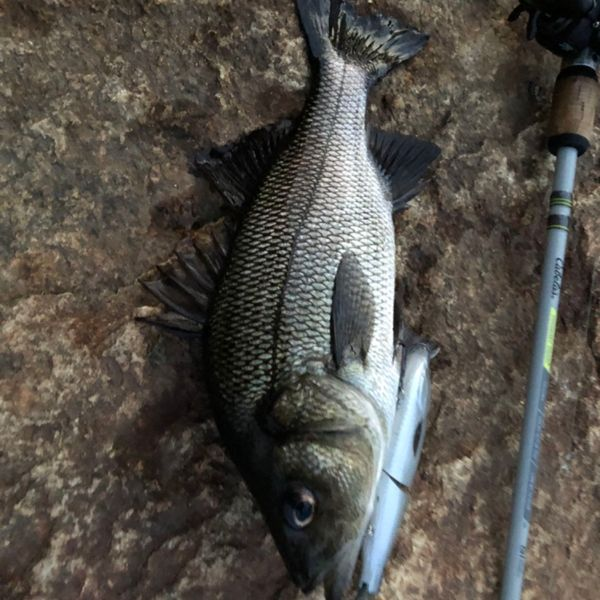 15 in White bass caught by Nate Shippee