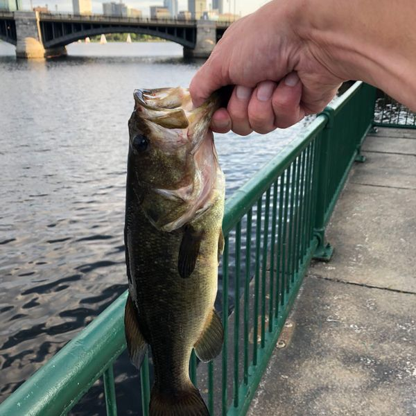 1 lbs / 13 in Largemouth bass caught by Clifford  Sharp