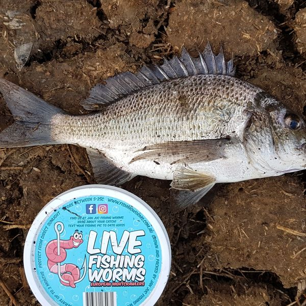 12 in Southern black bream caught by Jan Juc Fishing Worms