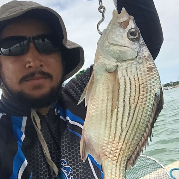1.76 lbs / 19 in Striped mojarra caught by Chapola Silva
