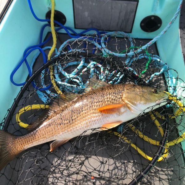 21 in Red drum caught by Fran Coryell