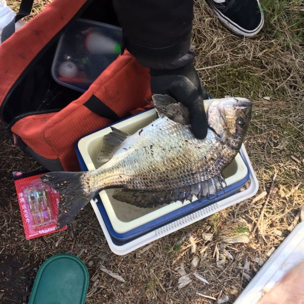 16 in Southern black bream caught by Lewis Clark