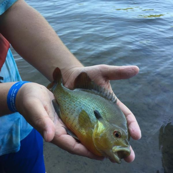 1 lbs / 12 in Redbreast sunfish caught by Adam Jeiger