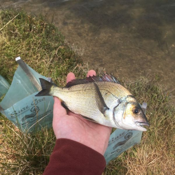 9 in Southern black bream caught by kyle aarons