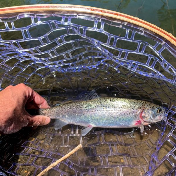 Rainbow trout caught by Michael Licon
