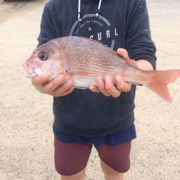 2.94 lbs Australasian snapper caught by Aussie.fish 🎣