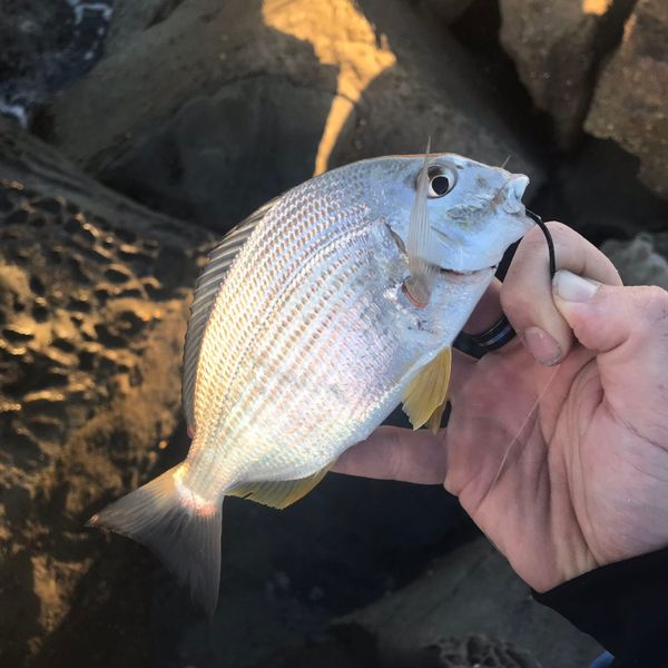 0.33 lbs / 7 in Goldlined seabream caught by Tim  Mason