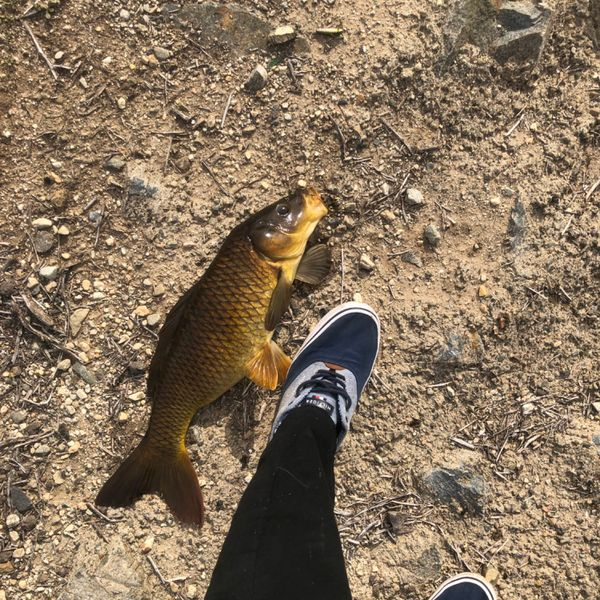 Common carp caught by Anthony Jacquemin